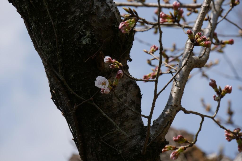 たまたま今年の桜の開花は例年より早かったです。