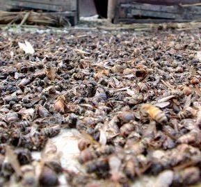 L'effondrement des colonies d'abeilles affole l'agriculture mondiale